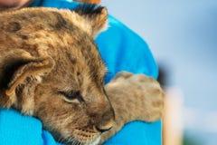 Petit animal de lion se reposant sur la maman Image libre de droits