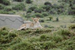 Petit animal de lion sur la colline s'étendant au sol et regardant la caméra images stock