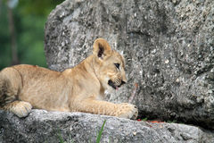 Petit animal de lion sur la roche Images stock