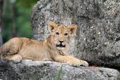 Petit animal de lion sur la roche faisant face à l'appareil-photo Photos stock