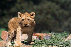 Petit animal de lions Image libre de droits