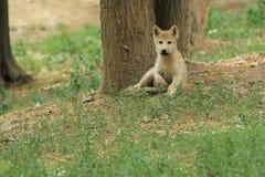 Petit animal de loup polaire photographie stock libre de droits