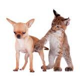 Petit animal de Lynx d'Eurasien avec le chien de chiahuahua Image stock