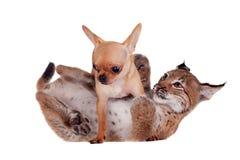 Petit animal de Lynx d'Eurasien avec le chien de chiahuahua Images stock