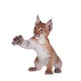Petit animal de Lynx d'Eurasien sur le blanc Photographie stock