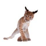 Petit animal de Lynx d'Eurasien sur le blanc Photographie stock libre de droits