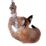 Petit animal de Lynx d'Eurasien sur le blanc Images libres de droits