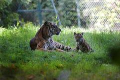 Petit animal de mère et de tigre photographie stock libre de droits