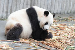 Petit animal de panda mangeant le bambou Photos stock