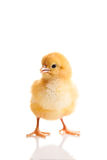 Petit animal de poulet d'isolement image stock