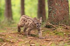 Petit animal de puma Photographie stock libre de droits