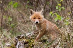 Petit animal de renard rouge Photo libre de droits