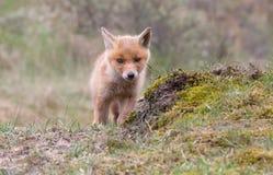 Petit animal de renard rouge Image libre de droits