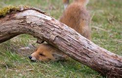 Petit animal de renard rouge Photo stock