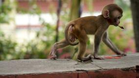 Petit animal de singe sur un mur de briques banque de vidéos