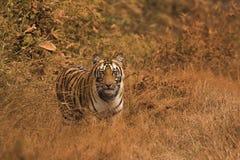 Petit animal de Tiger Panthera le Tigre le Tigre Chandi, réserve naturelle d'Umred-Karhandla, maharashtra, Inde image stock