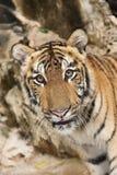 Petit animal de tigre curieux Image stock