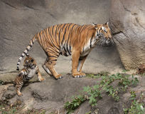 Petit animal de tigre jouant avec la queue du ` s de maman Photos libres de droits