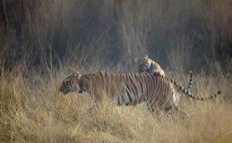 Petit animal de tigre sautant sur des mères de retour Photo libre de droits