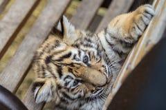 Petit animal de tigre sur le banc Image libre de droits