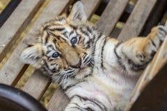 Petit animal de tigre sur le banc Photos libres de droits