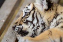 Petit animal de tigre sur le banc Photographie stock
