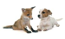 Petit animal et chien de renard rouge Images stock