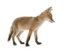 Petit animal et chien de renard rouge Images libres de droits