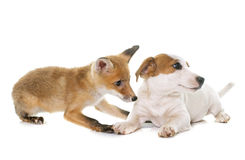 Petit animal et chien de renard rouge Photo stock
