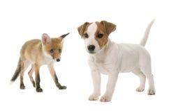 Petit animal et chien de renard rouge Photographie stock libre de droits