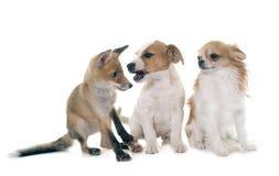 Petit animal et chiens de renard rouge Photographie stock libre de droits