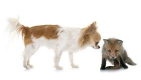 Petit animal et chiwawa de renard rouge Image stock