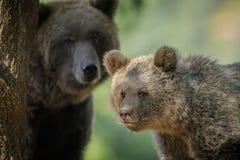 Petit animal et mère d'ours Image libre de droits