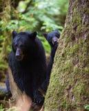 Petit animal et mère d'ours noir Photos libres de droits