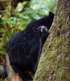 Petit animal et mère d'ours noir Images stock