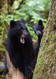 Petit animal et mère d'ours noir Images libres de droits