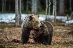 Petit animal et -ours d'ours Arctos d'arctos d'Ursus d'ours de Brown Image stock