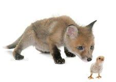 Petit animal et poussin de Fox dans le studio Photo libre de droits