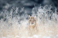 Petit animal eurasien de lynx caché dans la haute herbe jaune avec la neige Photos stock