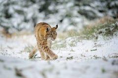 Petit animal eurasien de lynx marchant dans la forêt colorée d'hiver avec la neige Image libre de droits