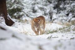 Petit animal eurasien de lynx marchant dans la forêt colorée d'hiver avec la neige Photo stock