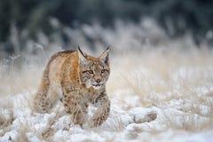 Petit animal eurasien de lynx marchant sur la neige avec la haute herbe jaune sur le fond Photographie stock