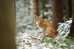Petit animal eurasien de lynx se tenant dans la forêt colorée d'hiver avec la neige Photos libres de droits