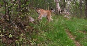 Petit animal européen de lynx marchant dans la forêt par soirée d'été banque de vidéos