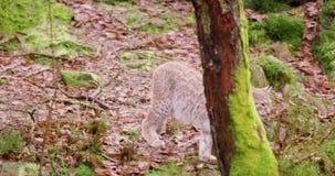 Petit animal européen de lynx marchant dans la forêt banque de vidéos
