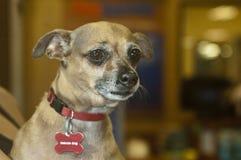 Petit animal familier brun triste d'abri de chien de chiwawa photos stock