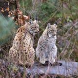 Petit animal femelle et jeune de lynx Images libres de droits
