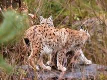 Petit animal femelle et jeune de lynx Photo stock