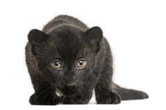 Petit animal noir de léopard, 3 semaines de, regardant et rôdant fixement photo stock