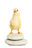 Petit animal pelucheux de poulet Photographie stock libre de droits